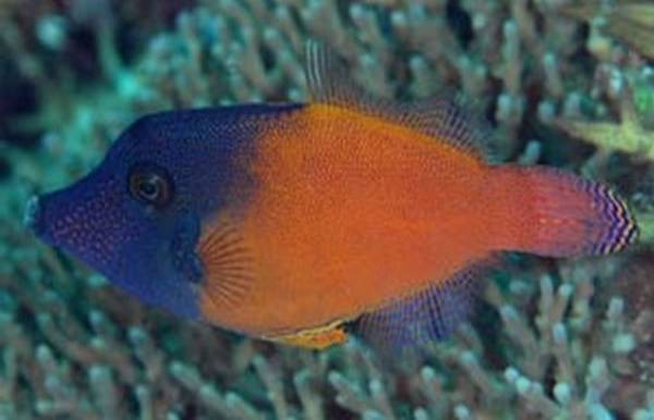Bilde av Pervagor melancephalus /Redtail Filefish 6-8cm