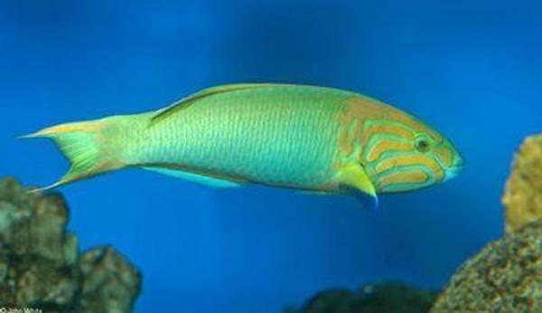 Bilde av Thalassoma lutescens  10-12cm