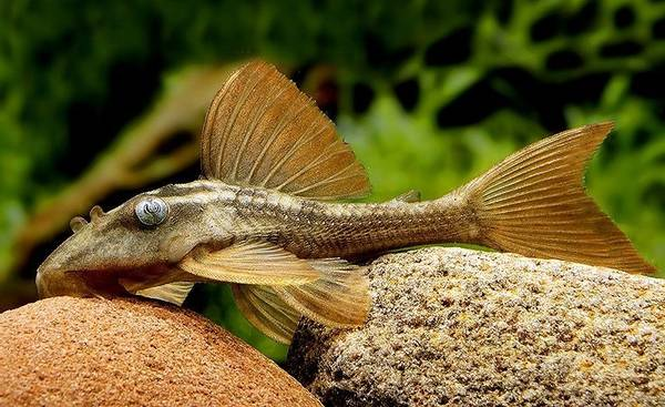 Bilde av L137 Hypostomus soniae 8-10cm VF