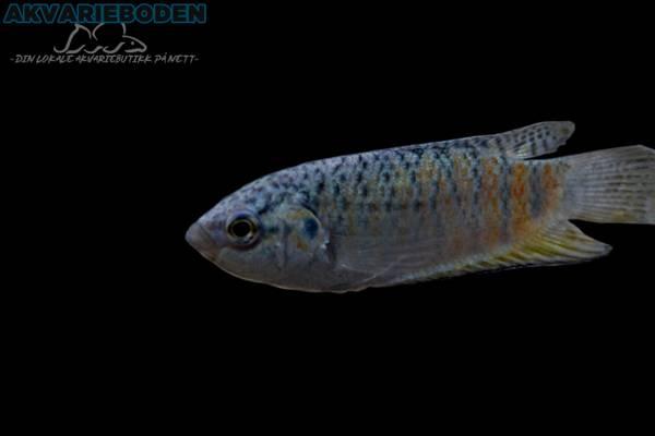 Bilde av Macropodus Opercularis Blue Fin