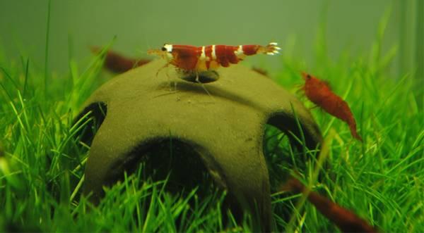 Bilde av Ceramic nano Shrimp Star 50mm